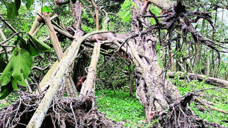 As Cyclone Amphan flattens rare trees in Kolkata, experts blame poor urban planning